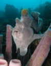 Frog Fish - 100x130 Love Bubble Social Diving - Nosy Be.jpg