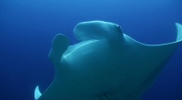 Manta 2 - 200x110 - Nosy Be Seabed - Love Bubble Social Diving.jpg
