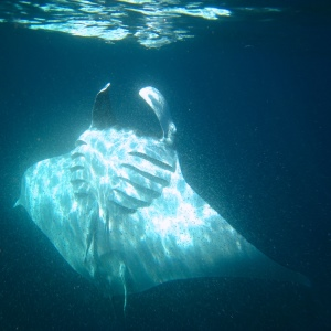 Manta in superficie - 300x300 - Love Bubble Social Diving.jpg