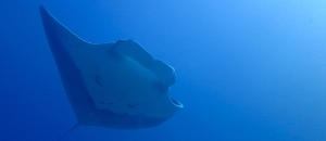 Manta in the Blue -300x130 - Nosy Be Seabed - Love Bubble Social Diving.jpg