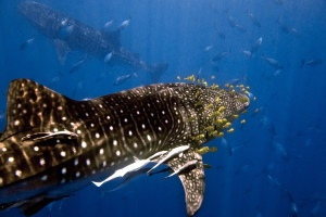 Two Whale Sharks - 300x200 - Nosy Be - Love Bubble Social Diving.jpg