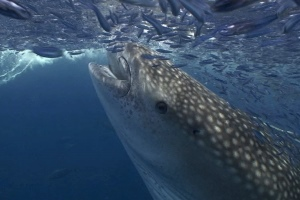 Whale Shark Eating - 300x200 - Nosy Be - Love Bubble Social Diving.jpg