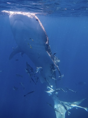 Whale Shark Eating 2 - 300x400 - Nosy Be - Love Bubble Social Diving.jpg