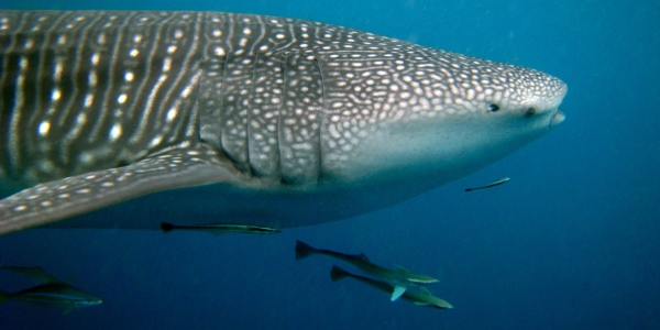 Whale Shark Side - 600x300 - Nosy BE - Love Bubble Social Diving.jpg