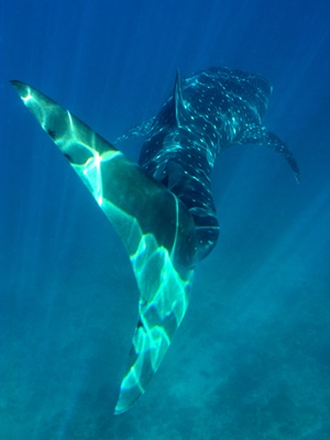Whale Shark Tail - 300x400 - Nosy Be - Love Bubble Social Diving.jpg